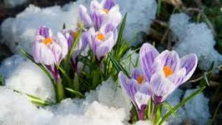 Цветы из-под снега в марте