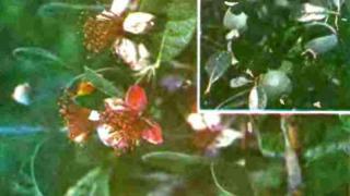 Цветки фейхоа и плоды фейхоа фото.
