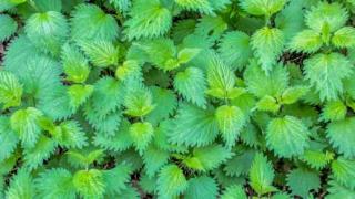 Настой крапивы для растений