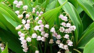 Ландыш - ядовитое растение