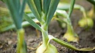 Секрет посадки лука-севка от бабушки