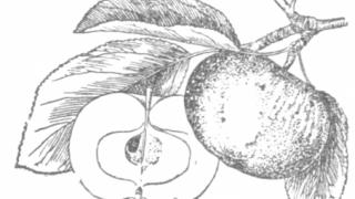 Плоды яблони Мекинтош ранний.