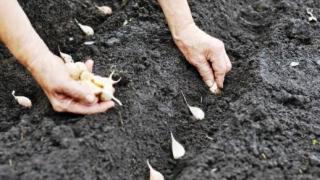 Как сажать чеснок весной, посадка чеснока весной