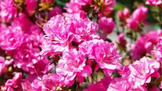 Японский рододендрон (Rhododendron japonicum)