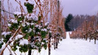 Виноград в северных районах
