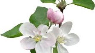 Цвет яблони. Как вырастить яблоню из семечка