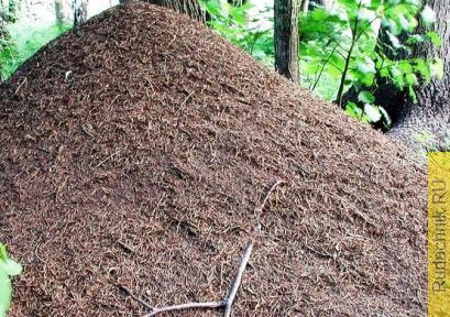 Земля с муравейника, можно ли пользоваться на огороде?