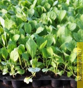 Как правильно выращивать рассаду капусты белокочанной и цветной?