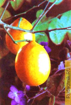 лимон в комнате фото