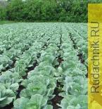 Встроенная миниатюра for Практические советы по выращиванию капусты