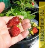 Встроенная миниатюра for Первый секрет по выращиванию клубники