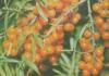 Выращивание облепихи из зелёных черенков