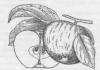 Плоды яблони Кортланд