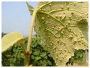 филлоксера винограда