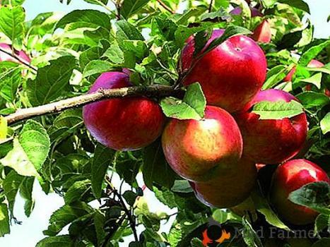 Утроенные корни или «хирургический» способ ускорения роста плодовых деревьев.