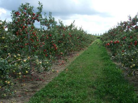Яблони за 1 год