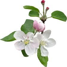 Цвет яблони. Как вырастить яблоню из семечка.